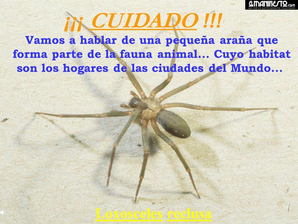 La Araña Loxoceles Loxoceles anida tanto fuera como dentro de los hogares...