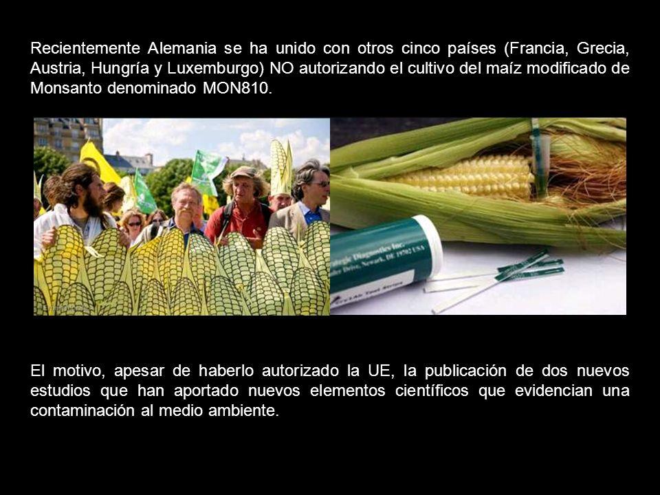 Los datos muestran que el MON863 tiene asociados riesgos significativos para la salud; sin embargo, la Comisión Europea concedió licencias para comercializar este maíz tanto para el consumo humano como para el consumo animal.