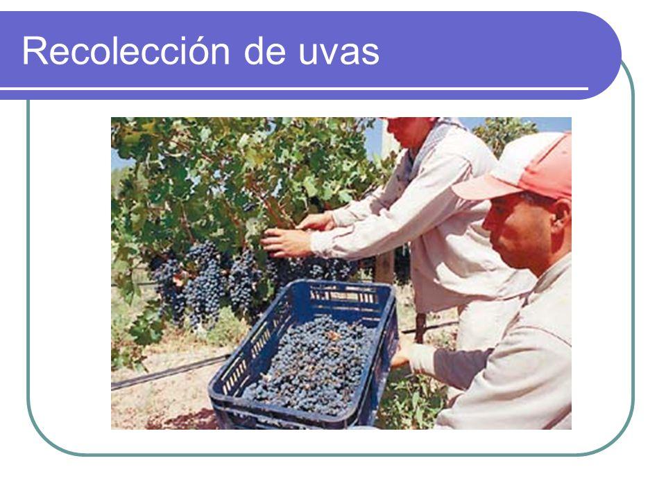 Recolección de uvas