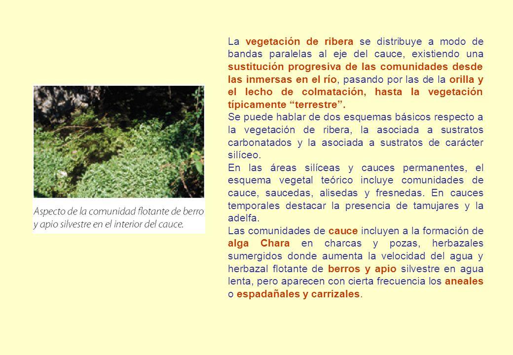 La vegetación de ribera se distribuye a modo de bandas paralelas al eje del cauce, existiendo una sustitución progresiva de las comunidades desde las