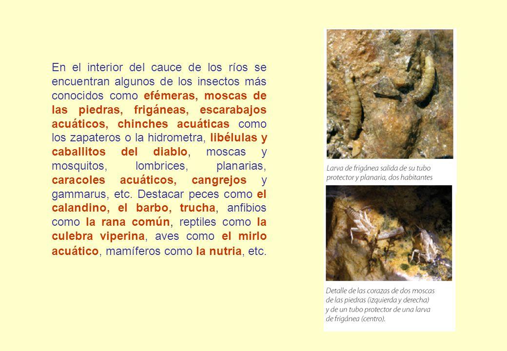 En el interior del cauce de los ríos se encuentran algunos de los insectos más conocidos como efémeras, moscas de las piedras, frigáneas, escarabajos