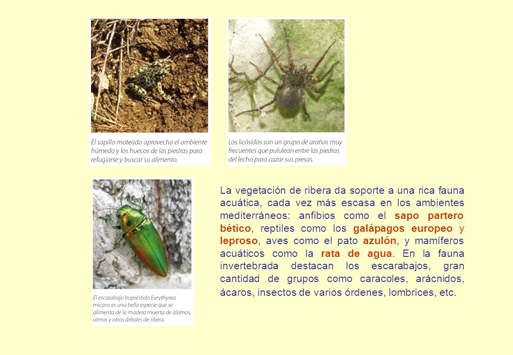 La vegetación de ribera da soporte a una rica fauna acuática, cada vez más escasa en los ambientes mediterráneos: anfibios como el sapo partero bético