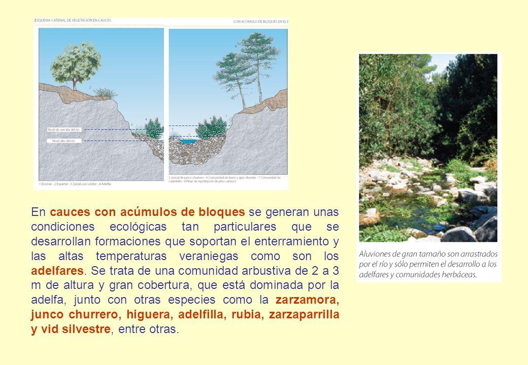 En cauces con acúmulos de bloques se generan unas condiciones ecológicas tan particulares que se desarrollan formaciones que soportan el enterramiento