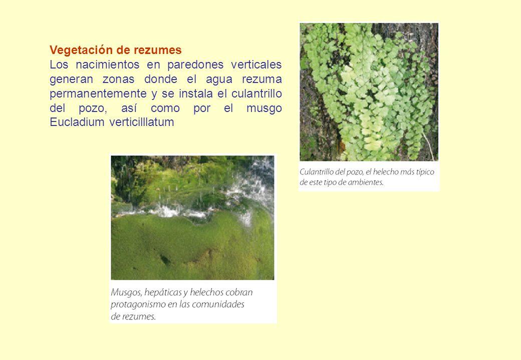 Vegetación de rezumes Los nacimientos en paredones verticales generan zonas donde el agua rezuma permanentemente y se instala el culantrillo del pozo,