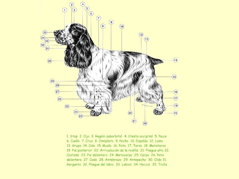 CARACTERISTICAS Es un perro alegre, robusto, deportivo, bien equilibrado, compacto; la medida del suelo a la cruz y de ésta a la inserción de la cola es aproximadamente igual.