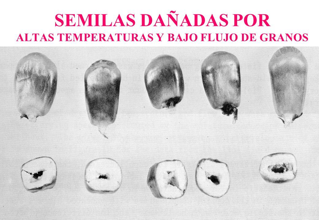SEMILAS DAÑADAS POR ALTAS TEMPERATURAS Y BAJO FLUJO DE GRANOS