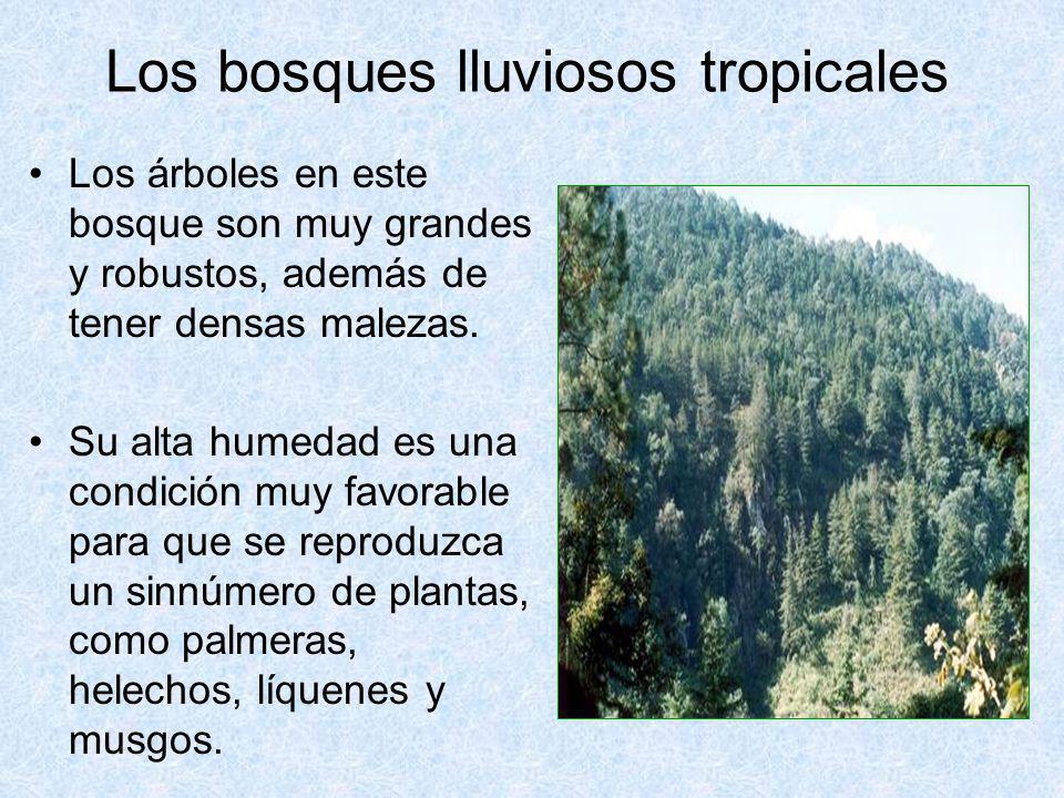Los bosques lluviosos tropicales Los árboles en este bosque son muy grandes y robustos, además de tener densas malezas. Su alta humedad es una condici
