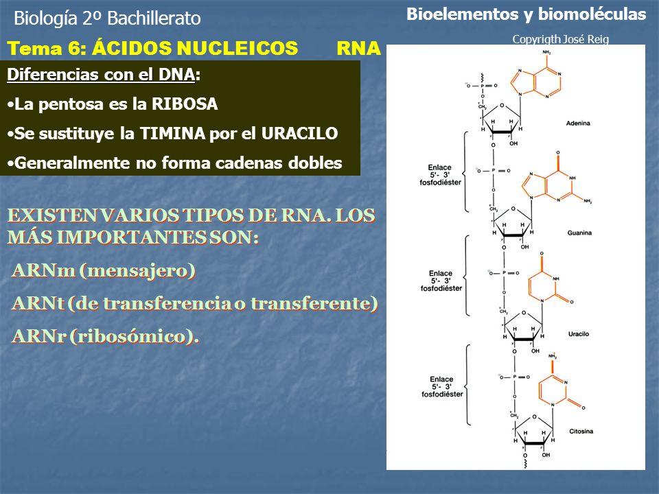 Biología 2º Bachillerato Bioelementos y biomoléculas Tema 6: ÁCIDOS NUCLEICOSRNA Diferencias con el DNA Diferencias con el DNA: La pentosa es la RIBOSA Se sustituye la TIMINA por el URACILO Generalmente no forma cadenas dobles EXISTEN VARIOS TIPOS DE RNA.