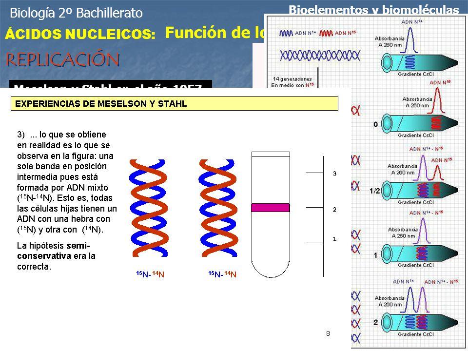 Biología 2º Bachillerato Bioelementos y biomoléculas ÁCIDOS NUCLEICOS: Función de los ácidos nucleicos REPLICACIÓN REPLICACIÓN Meselson y Stahl en el año 1957 llevaron a cabo un elegante experimento en el que demostraron que de las tres hipótesis propuestas la semiconservativa era la que se llevaba a cabo en realidad Meselson Stahl Copyrigth José Reig 2004