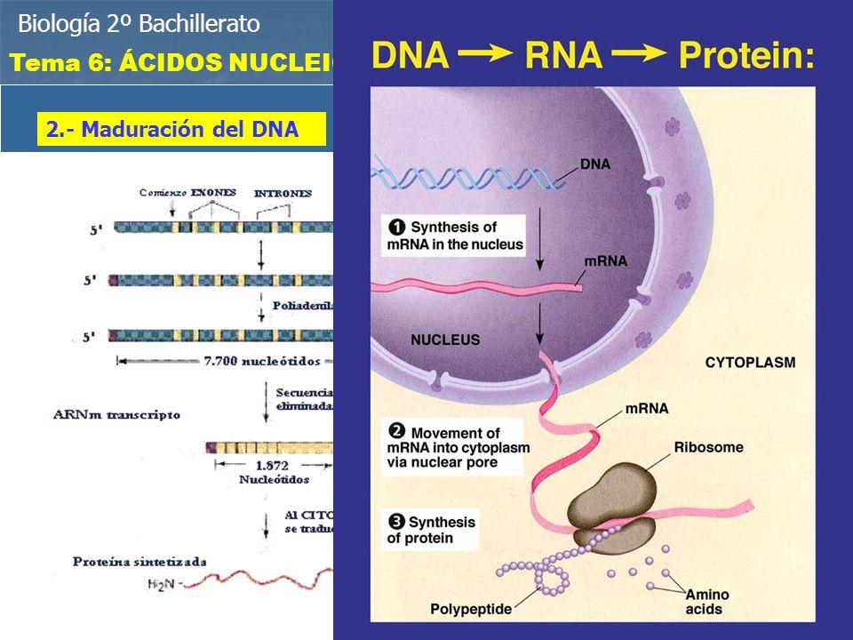 Biología 2º Bachillerato Bioelementos y biomoléculas Tema 6: ÁCIDOS NUCLEICOS MADURACIÓN DEL RNAm 1.- Eliminación de los intrones: Son fragmentos de DNA que no tienen sentido y hay que eliminar del RNAm 2.- Maduración del DNA Tras eliminar los intrones, se añade una cola de poli A y una caperuza protectora de polifosfato EXONES E INTRONES De esta manera, el RNAm ya maduro, abandona el núcleo por los poros nucleares para se traducido