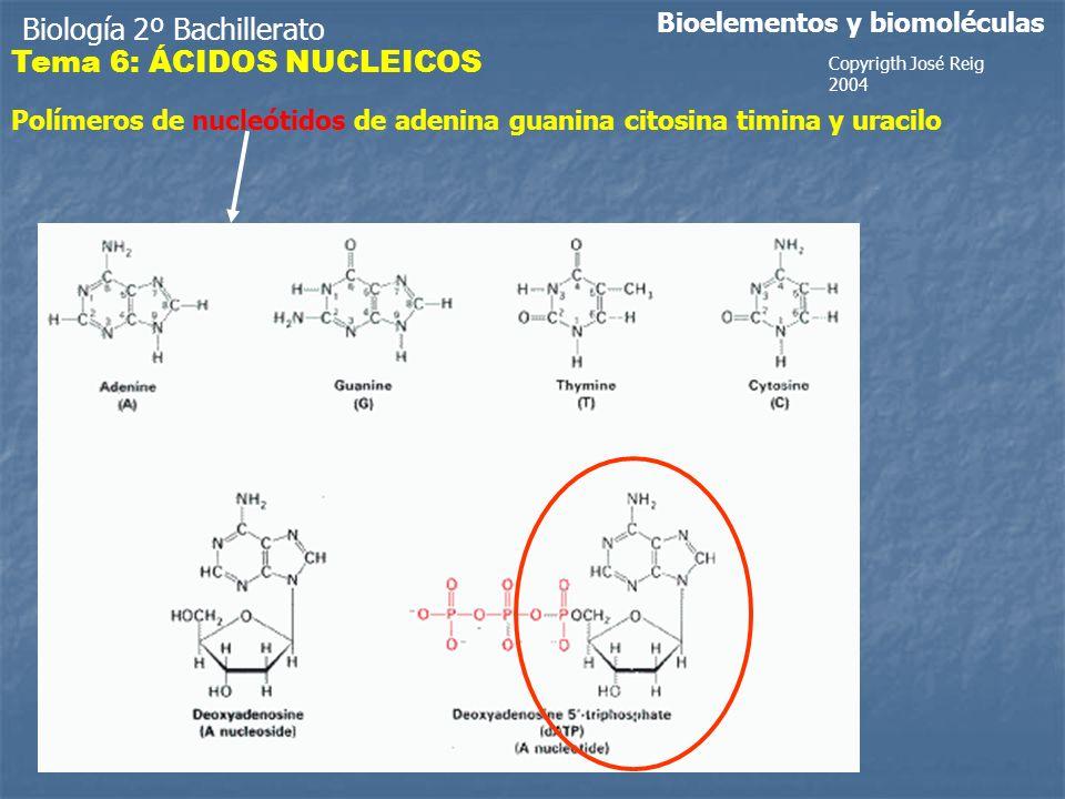Biología 2º Bachillerato Bioelementos y biomoléculas Polímeros de nucleótidos de adenina guanina citosina timina y uracilo Copyrigth José Reig 2004 Tema 6: ÁCIDOS NUCLEICOS