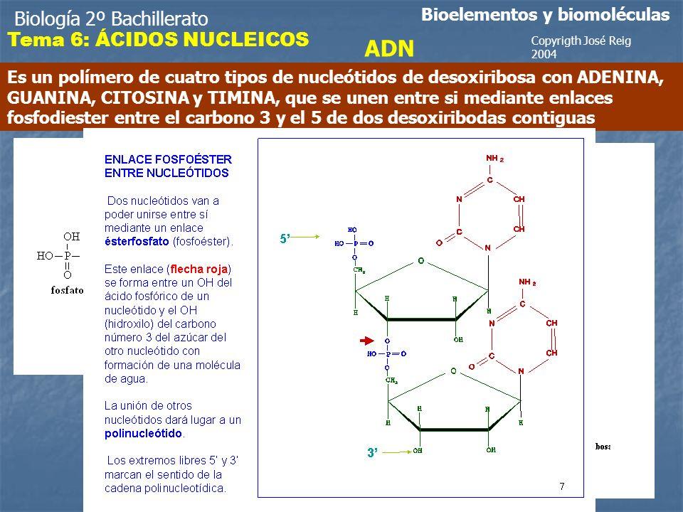 Biología 2º Bachillerato Bioelementos y biomoléculas ADN Es un polímero de cuatro tipos de nucleótidos de desoxiribosa con ADENINA, GUANINA, CITOSINA y TIMINA, que se unen entre si mediante enlaces fosfodiester entre el carbono 3 y el 5 de dos desoxiribodas contiguas H2OH2O Copyrigth José Reig 2004 Tema 6: ÁCIDOS NUCLEICOS