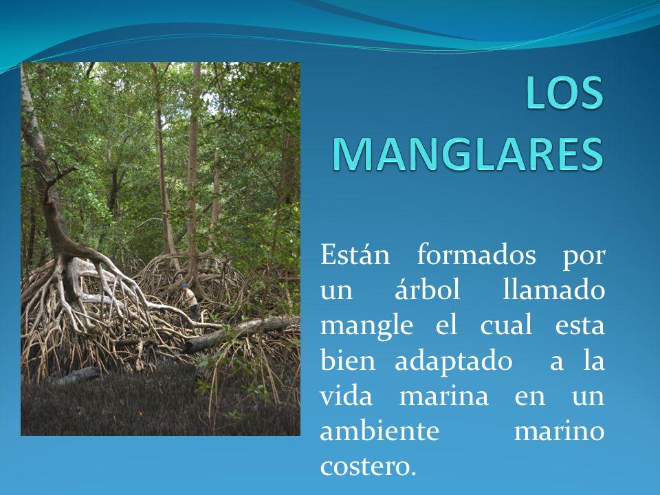 Están formados por un árbol llamado mangle el cual esta bien adaptado a la vida marina en un ambiente marino costero.