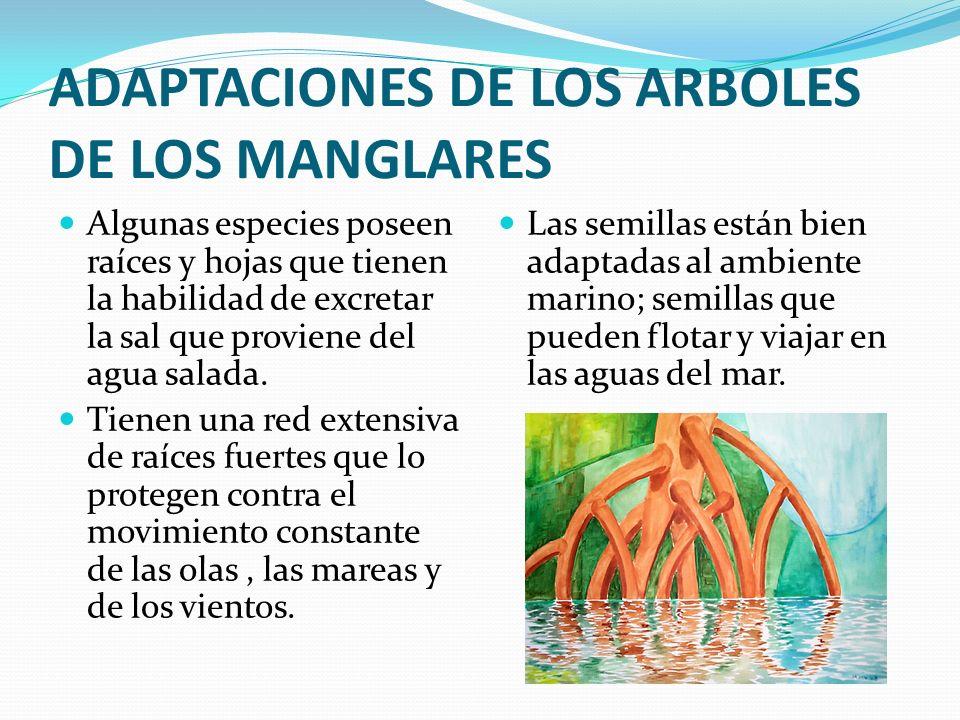 IMPORTANCIA DE LOS MANGLARES Los manglares proporcionan la base de cadena alimenticia de la cual depende una enorme variedad de seres vivos.