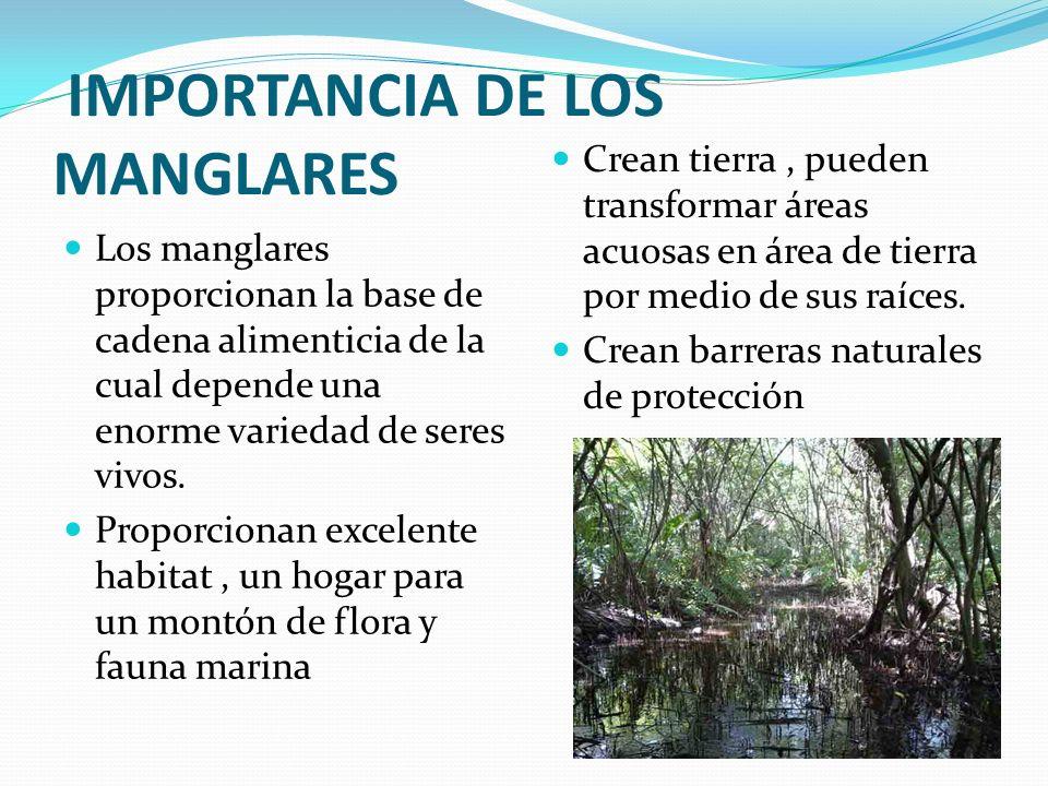 IMPORTANCIA DE LOS MANGLARES Los manglares proporcionan la base de cadena alimenticia de la cual depende una enorme variedad de seres vivos. Proporcio