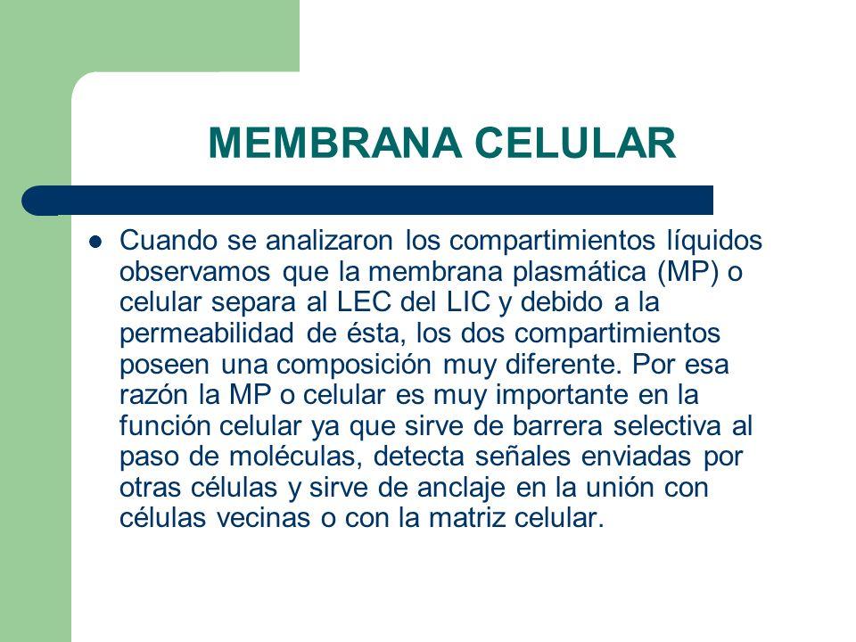 MEMBRANA CELULAR Cuando se analizaron los compartimientos líquidos observamos que la membrana plasmática (MP) o celular separa al LEC del LIC y debido a la permeabilidad de ésta, los dos compartimientos poseen una composición muy diferente.