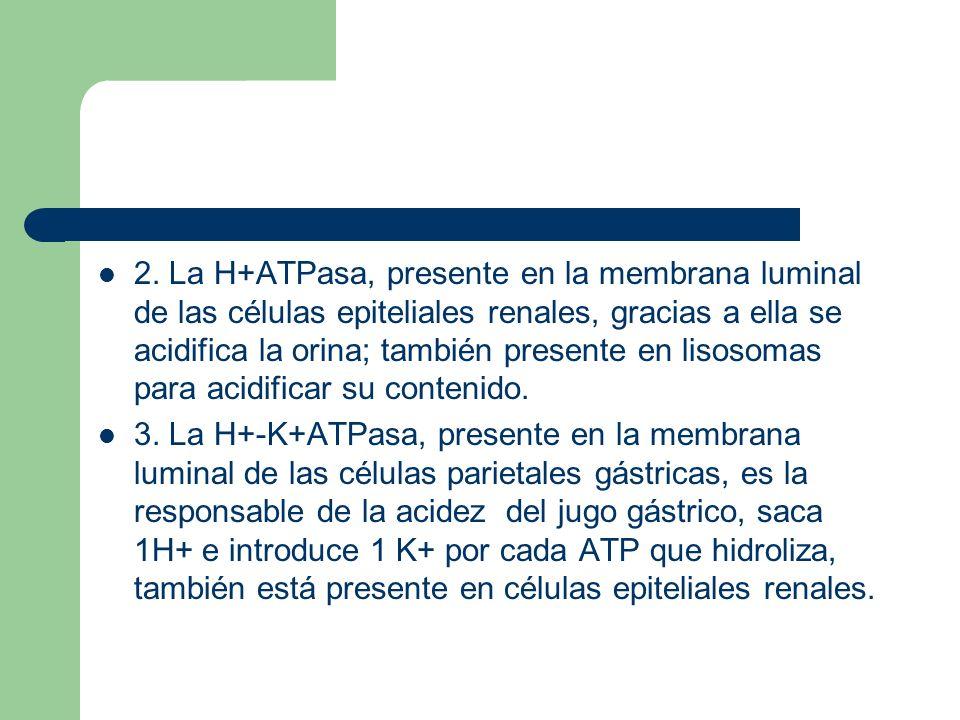 2. La H+ATPasa, presente en la membrana luminal de las células epiteliales renales, gracias a ella se acidifica la orina; también presente en lisosoma