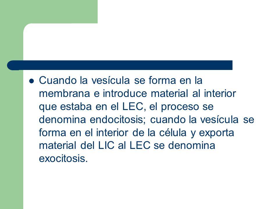 Cuando la vesícula se forma en la membrana e introduce material al interior que estaba en el LEC, el proceso se denomina endocitosis; cuando la vesícula se forma en el interior de la célula y exporta material del LIC al LEC se denomina exocitosis.