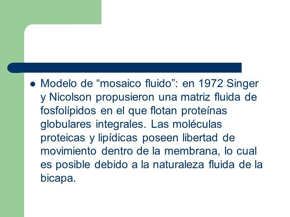 Modelo de mosaico fluido: en 1972 Singer y Nicolson propusieron una matriz fluida de fosfolípidos en el que flotan proteínas globulares integrales. La