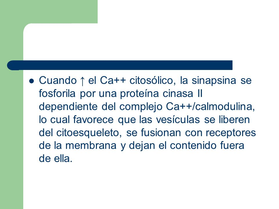Cuando el Ca++ citosólico, la sinapsina se fosforila por una proteína cinasa II dependiente del complejo Ca++/calmodulina, lo cual favorece que las vesículas se liberen del citoesqueleto, se fusionan con receptores de la membrana y dejan el contenido fuera de ella.