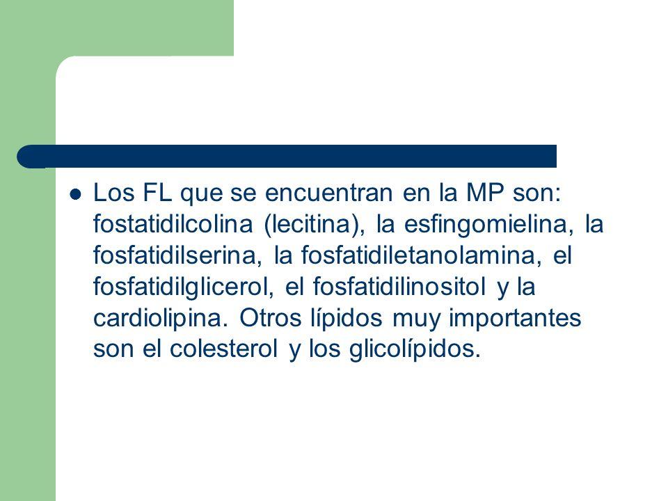 Los FL que se encuentran en la MP son: fostatidilcolina (lecitina), la esfingomielina, la fosfatidilserina, la fosfatidiletanolamina, el fosfatidilglicerol, el fosfatidilinositol y la cardiolipina.