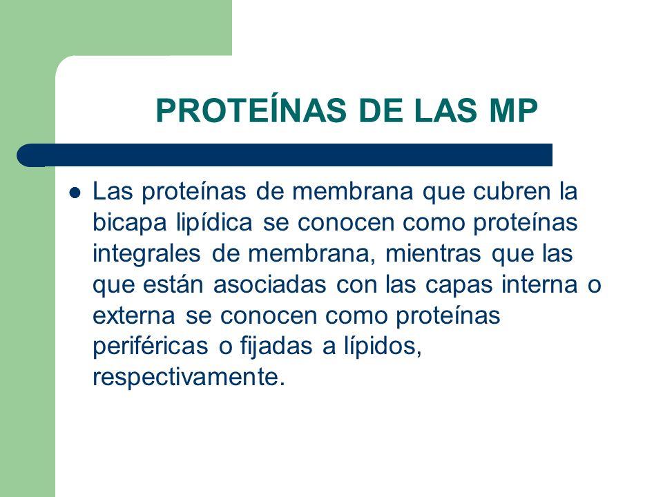 PROTEÍNAS DE LAS MP Las proteínas de membrana que cubren la bicapa lipídica se conocen como proteínas integrales de membrana, mientras que las que están asociadas con las capas interna o externa se conocen como proteínas periféricas o fijadas a lípidos, respectivamente.