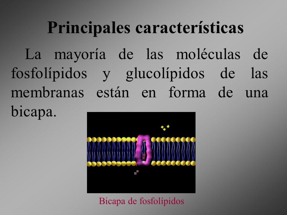 Principales características La mayoría de las moléculas de fosfolípidos y glucolípidos de las membranas están en forma de una bicapa. Bicapa de fosfol