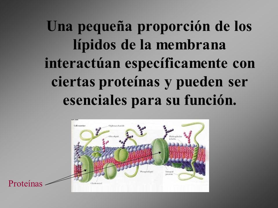 Una pequeña proporción de los lípidos de la membrana interactúan específicamente con ciertas proteínas y pueden ser esenciales para su función. Proteí