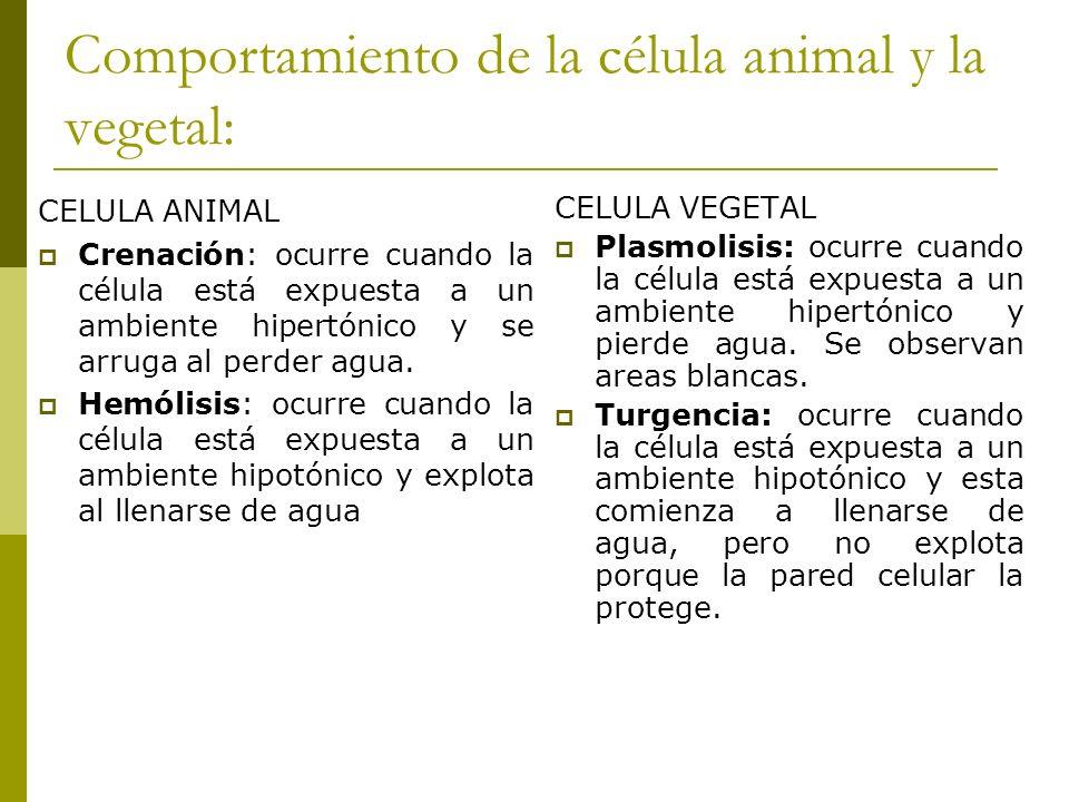 Comportamiento de la célula animal y la vegetal: CELULA ANIMAL Crenación: ocurre cuando la célula está expuesta a un ambiente hipertónico y se arruga
