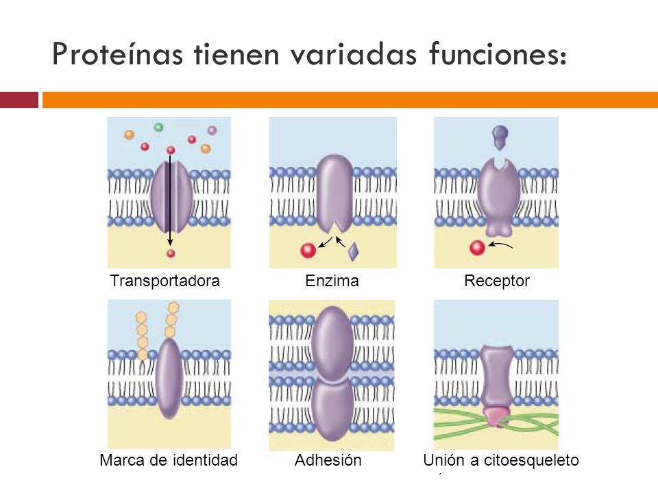 Proteínas tienen variadas funciones: TransportadoraEnzimaReceptor AdhesiónMarca de identidadUnión a citoesqueleto