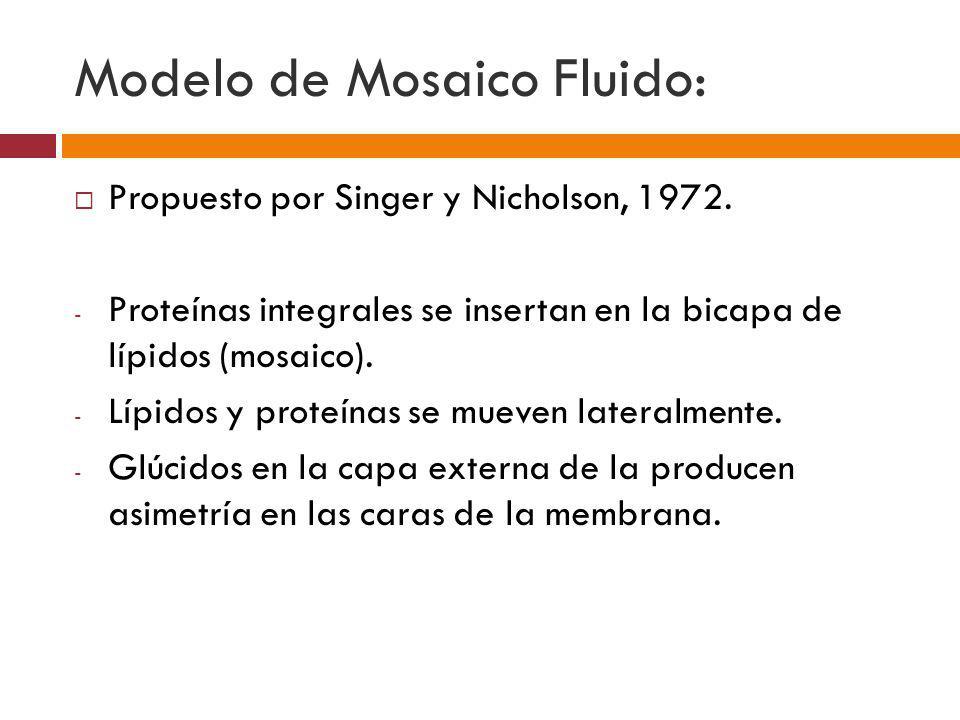 Modelo de Mosaico Fluido: Propuesto por Singer y Nicholson, 1972. - Proteínas integrales se insertan en la bicapa de lípidos (mosaico). - Lípidos y pr