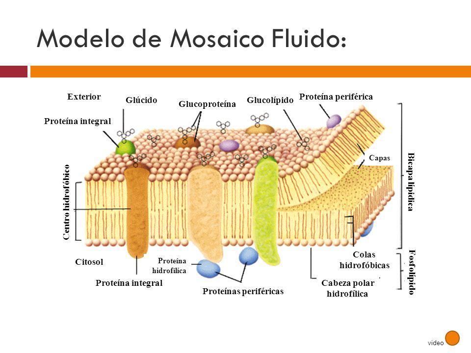 Modelo de Mosaico Fluido: Citosol Proteína integral Proteínas periféricas Cabeza polar hidrofílica Colas hidrofóbicas Fosfolípido Bicapa lípidica Exte