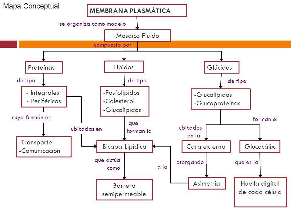 MEMBRANA PLASMÁTICA Lípidos ProteínasGlúcidos se organiza como modelo -Fosfolípidos -Colesterol -Glucolípidos - Integrales - Periféricas de tipo Bicap