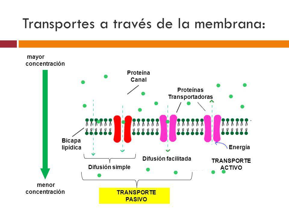 mayor concentración menor concentración Bicapa lipídica Difusión simple Difusión facilitada TRANSPORTE PASIVO TRANSPORTE ACTIVO Energía Proteína Canal