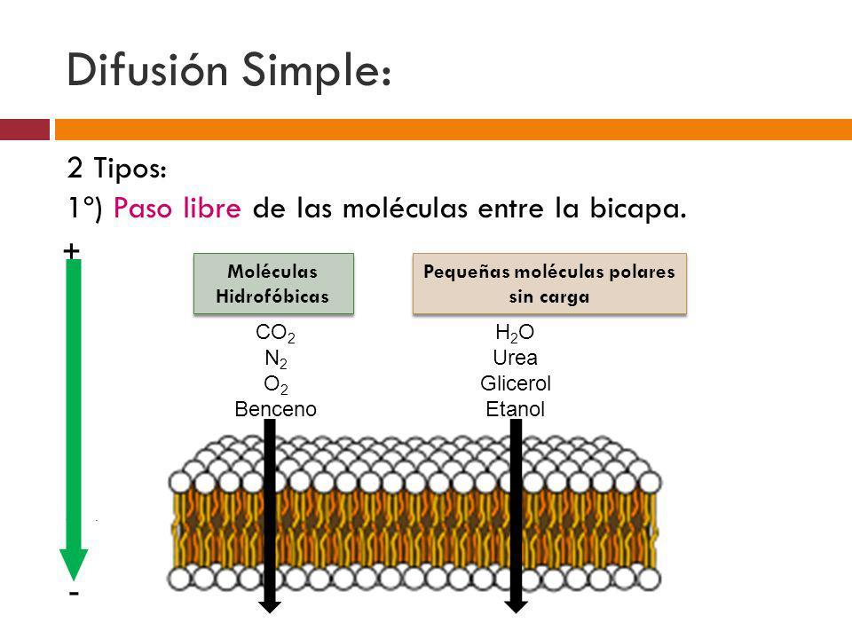 Difusión Simple: 2 Tipos: 1º) Paso libre de las moléculas entre la bicapa. -. Moléculas Hidrofóbicas Moléculas Hidrofóbicas Pequeñas moléculas polares