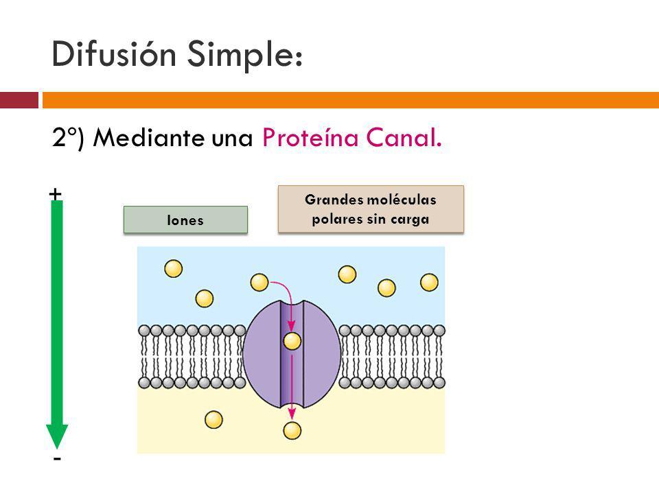 2º) Mediante una Proteína Canal. Difusión Simple: Iones Grandes moléculas polares sin carga + -