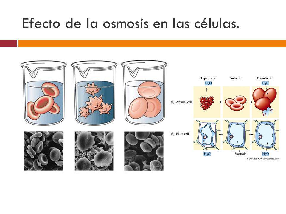 Efecto de la osmosis en las células. Solución Isotónica Solución Isotónica Solución Hipertónica Solución Hipertónica Solución Hipotónica Solución Hipo
