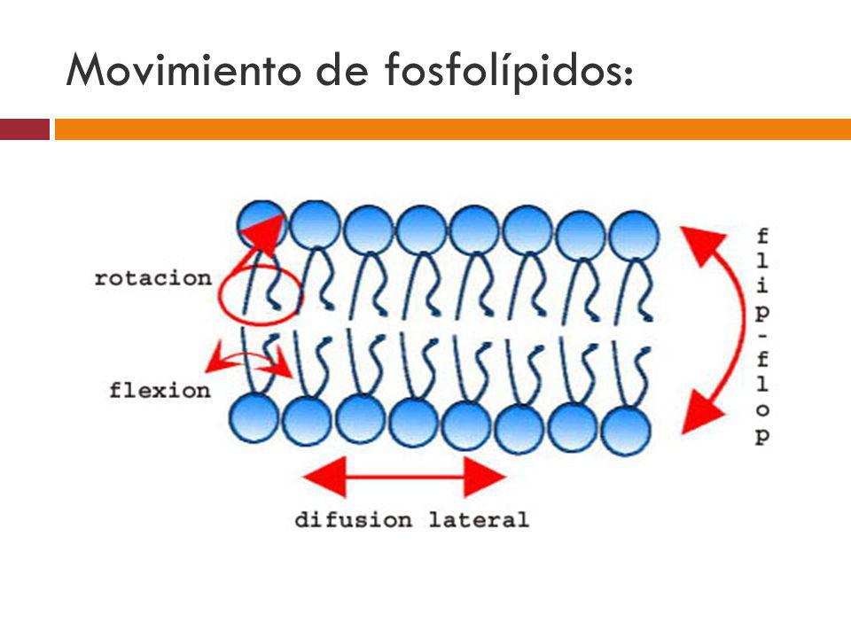 Fluidez de la membrana: Aumento de Temperatura.Aumento de Insaturaciones en los lípidos.