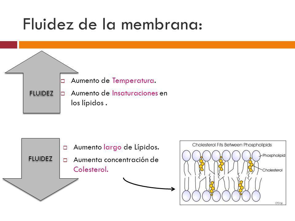 Fluidez de la membrana: Aumento de Temperatura. Aumento de Insaturaciones en los lípidos. FLUIDEZ Aumento largo de Lípidos. Aumenta concentración de C