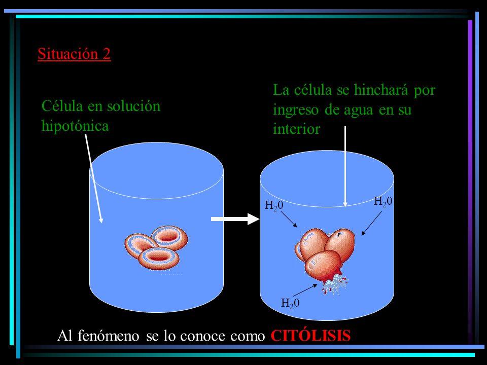 Veamos qué ocurre en la célula animal Glóbulo rojo en solución hipertónica Al fenómeno se lo conoce como CRENACIÓN La célula pierde agua y se arruga.