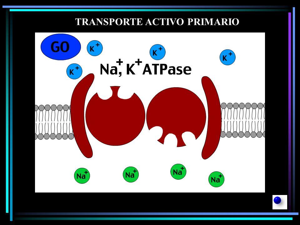 Se conocen dos clases de transporte: A.Transporte primario: En este tipo la energía obtenida del ATP se emplea directamente para transportar el soluto