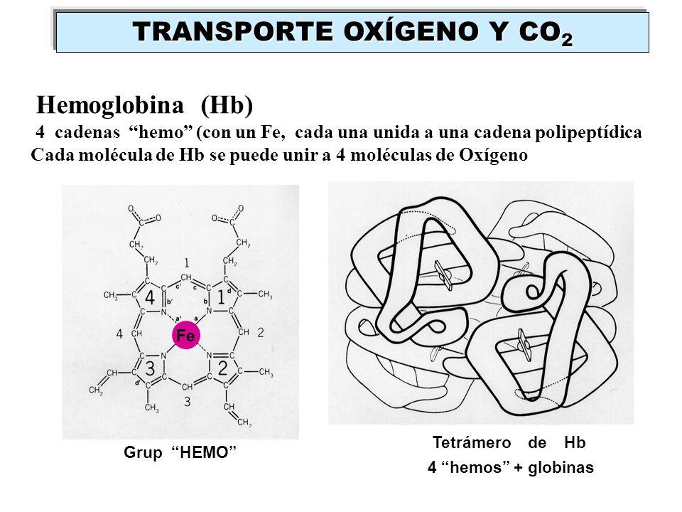Hemoglobina (Hb) 4 cadenas hemo (con un Fe, cada una unida a una cadena polipeptídica Cada molécula de Hb se puede unir a 4 moléculas de Oxígeno Grup