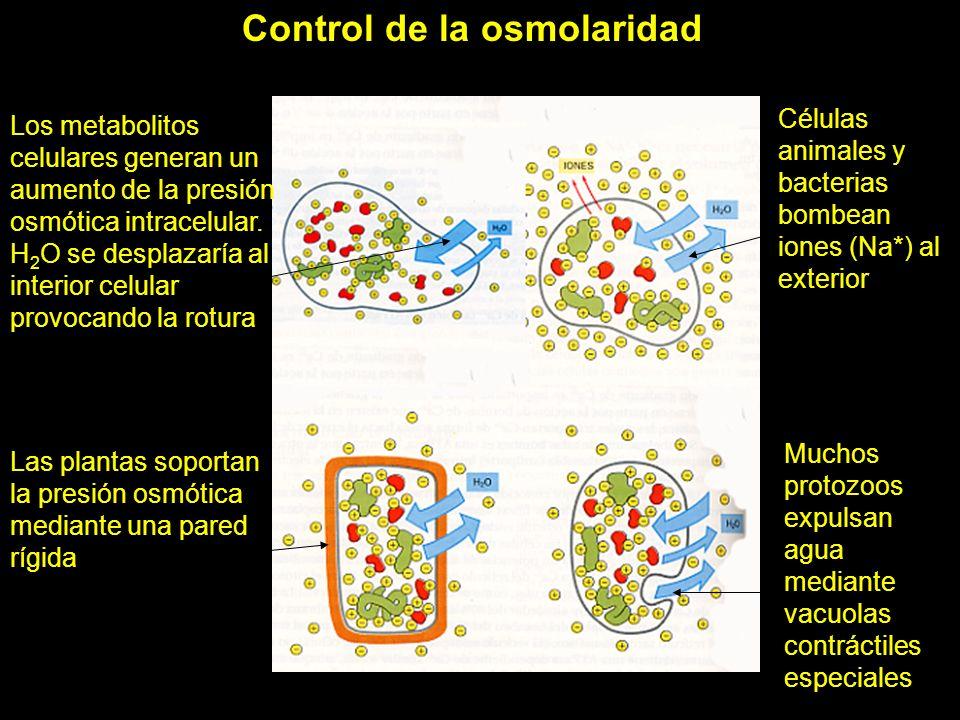 Control de la osmolaridad celular Los metabolitos celulares generan un aumento de la presión osmótica intracelular. H 2 O se desplazaría al interior c