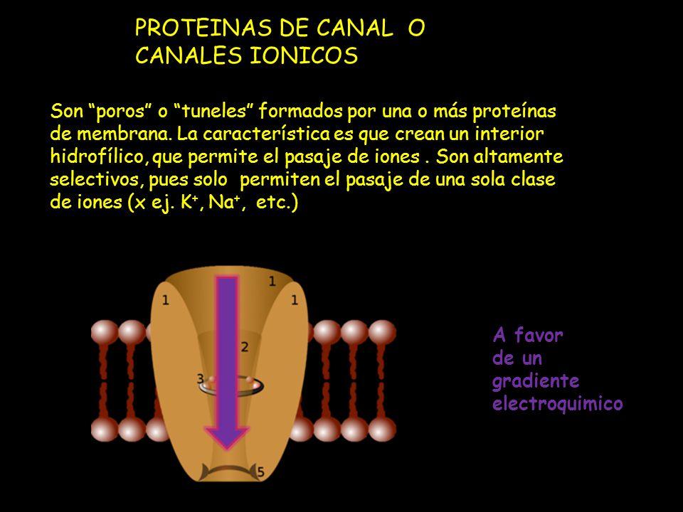 PROTEINAS DE CANAL O CANALES IONICOS Son poros o tuneles formados por una o más proteínas de membrana. La característica es que crean un interior hidr