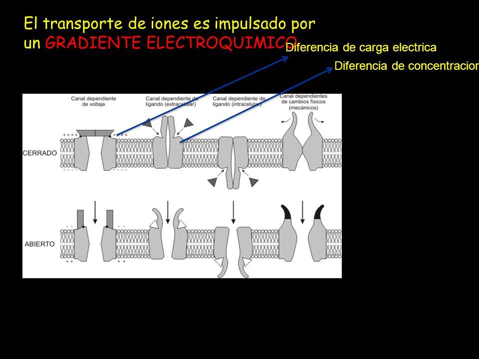 El transporte de iones es impulsado por un GRADIENTE ELECTROQUIMICO Diferencia de carga electrica Diferencia de concentracion