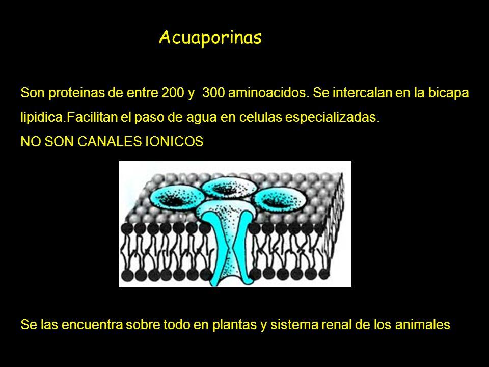 Acuaporinas Son proteinas de entre 200 y 300 aminoacidos. Se intercalan en la bicapa lipidica.Facilitan el paso de agua en celulas especializadas. NO