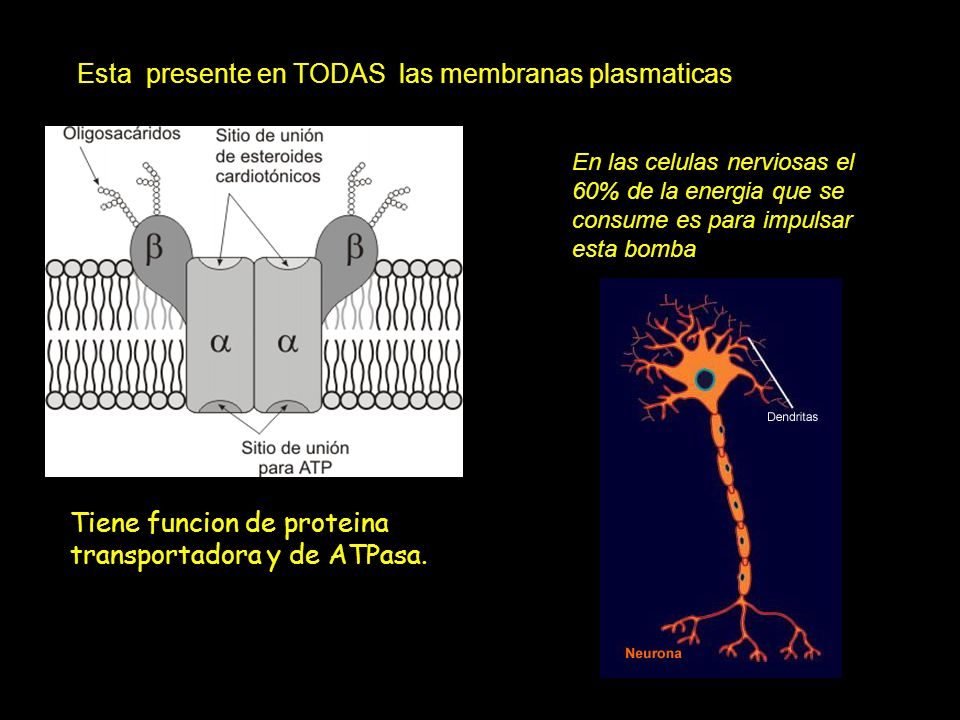 Esta presente en TODAS las membranas plasmaticas Tiene funcion de proteina transportadora y de ATPasa. En las celulas nerviosas el 60% de la energia q