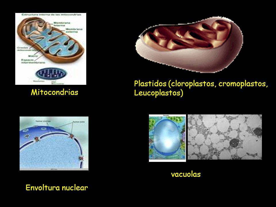 Mitocondrias Plastidos (cloroplastos, cromoplastos, Leucoplastos) Envoltura nuclear vacuolas