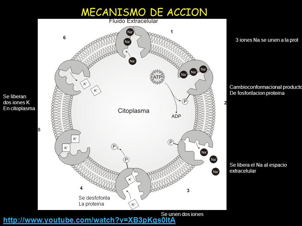 MECANISMO DE ACCION 3 iones Na se unen a la prot Cambioconformacional producto De fosforilacion proteina Se libera el Na al espacio extracelular Se un