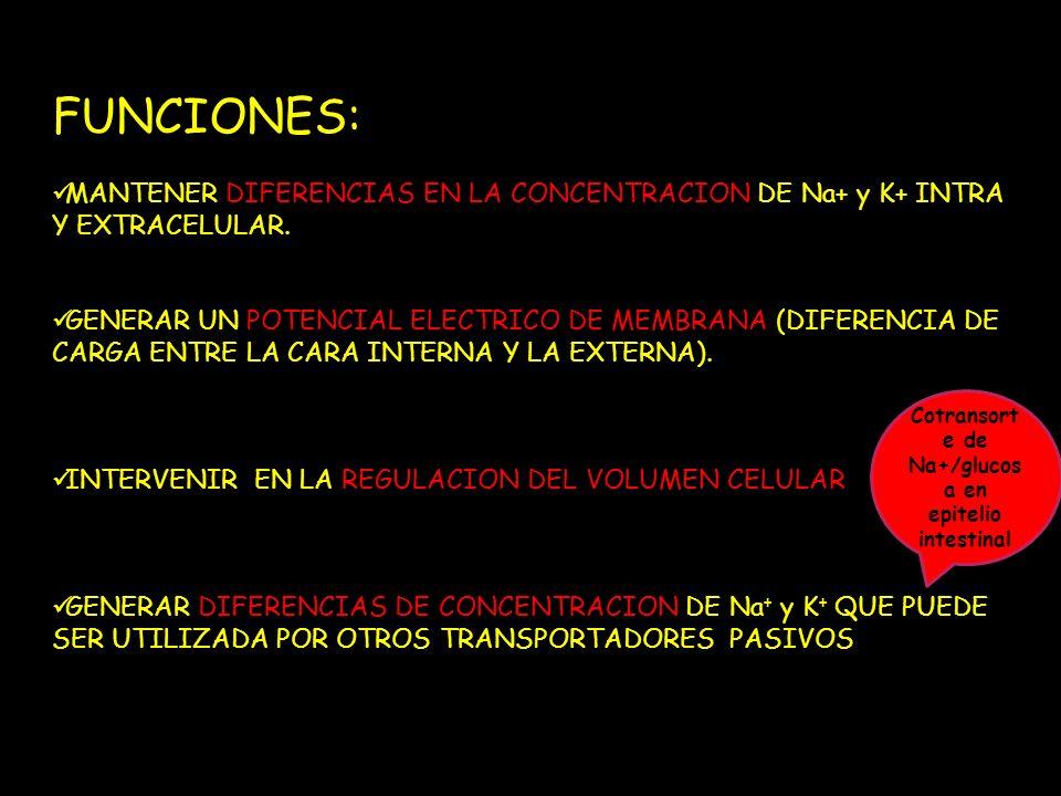 FUNCIONES: MANTENER DIFERENCIAS EN LA CONCENTRACION DE Na+ y K+ INTRA Y EXTRACELULAR. GENERAR UN POTENCIAL ELECTRICO DE MEMBRANA (DIFERENCIA DE CARGA